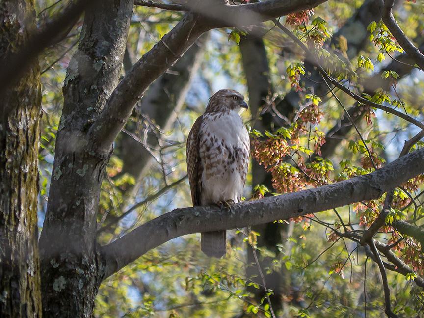 Hawk tree v2 McFaul 2015_1290870