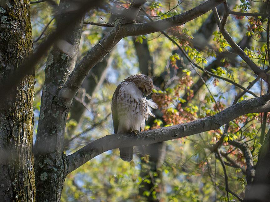 Hawk tree v2 McFaul 2015_1290883