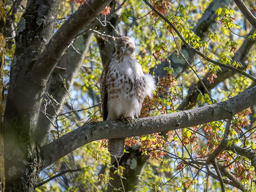 Hawk tree v2 McFaul 2015_1290906-2