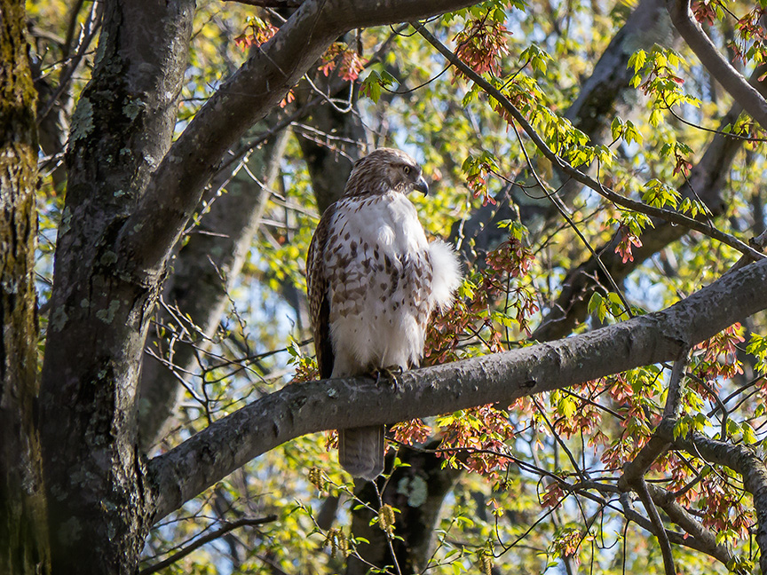 Hawk tree v2 McFaul 2015_1290912