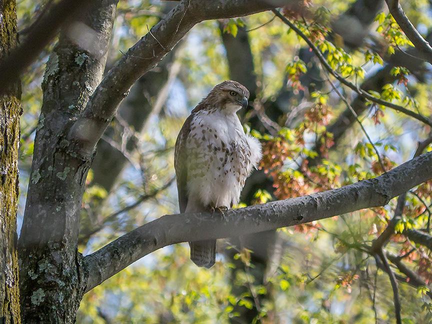 Hawk tree v3 McFaul 2015_1290887