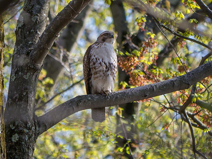 hawk v2  McFaul 2015_1290863