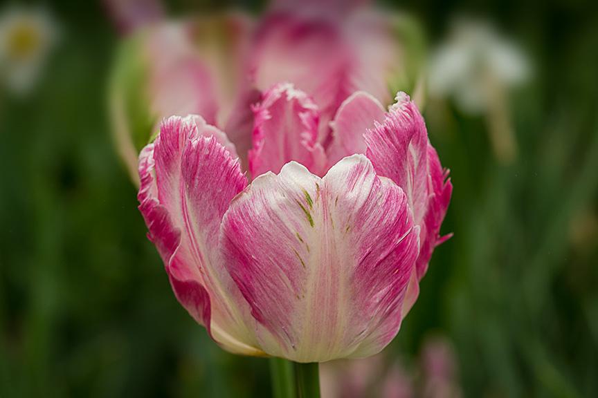 LWG tulip_v2 43G4372