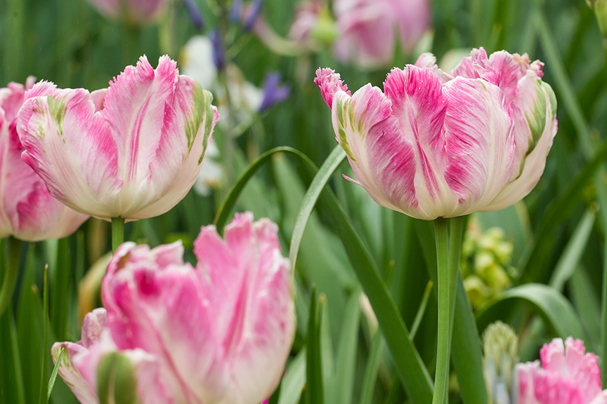LWG Tulips v1_43G4351