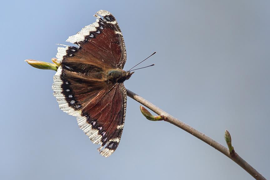 Mourning Cloak Butterfly v2__McFaul 2015 43G2728