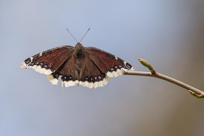Mourning Cloak Butterfly v2__McFaul 2015__43G2716