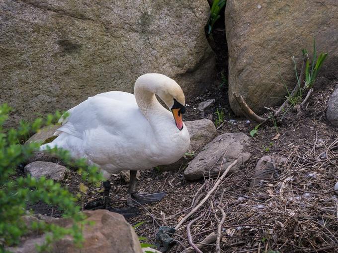 Mute Swan Nest v1 McFaul 2015 _1290538