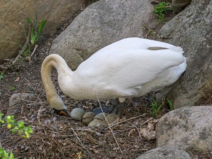 Mute Swan nest v1 McFaul 2015_1290622