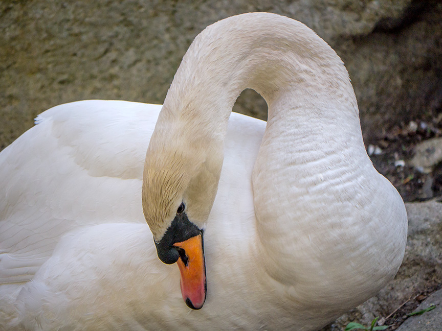 Mute Swan on Nest v1 McFaul 2015 _1290566
