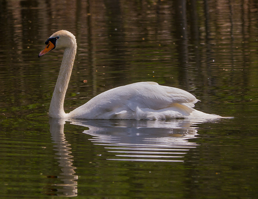 Mute Swan v1_McFaul_1290428