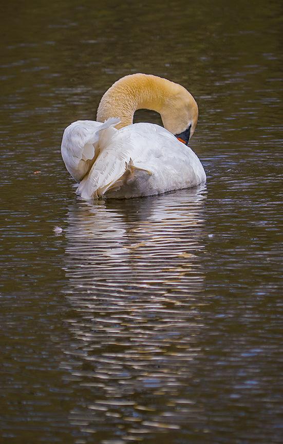 mute swan v3 McFaul 2015_1290402