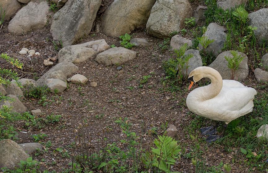 Mute Swan w eggs v2_1300962
