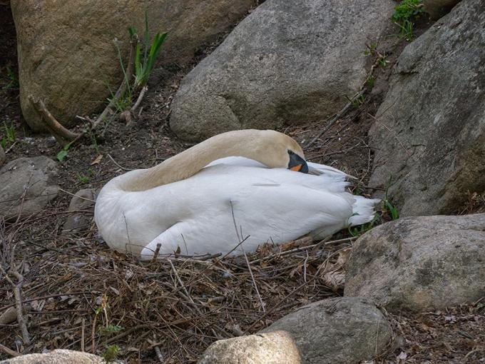 MuteSwan on Nest v1_1290648