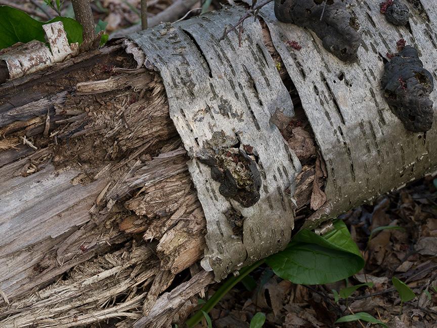 Tree Limb v1 McFaul 2015_1290958