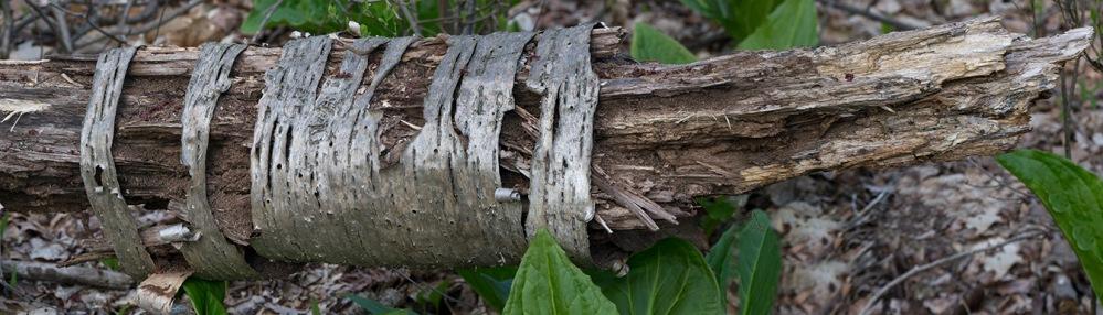 Tree Limb v3 pano McFaul 2015_1290951