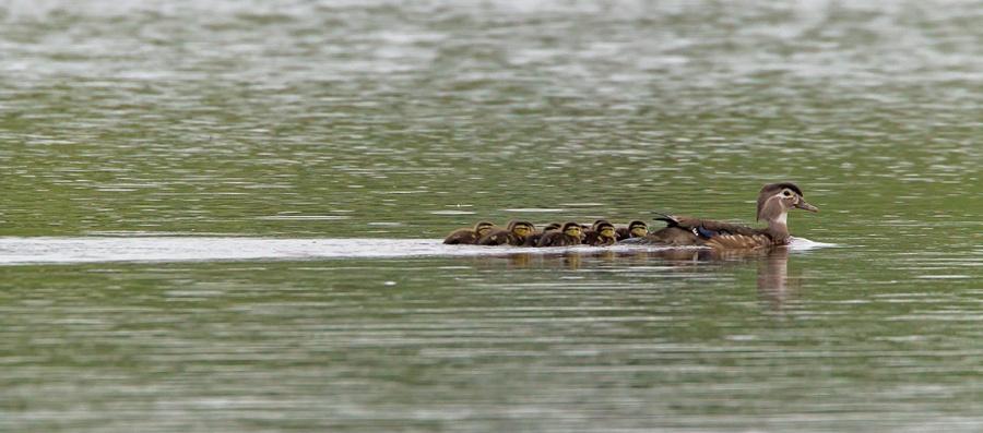 wood ducks cf 2015_v6 43G7005