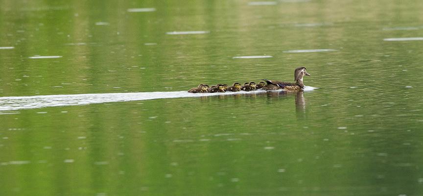 Wood Ducks cf v1_43G6979