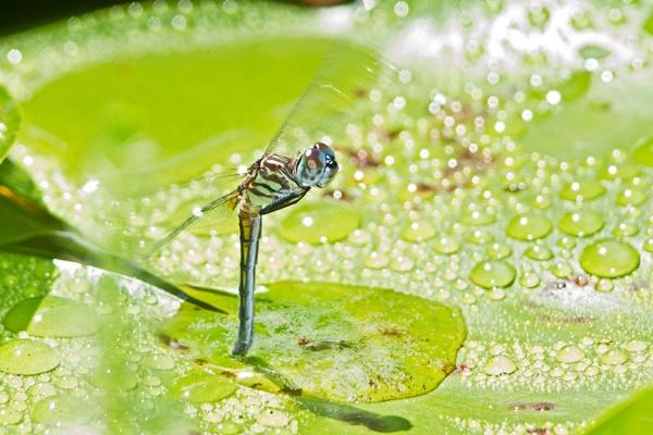 blue dasher female lay eggs v2_43G0389