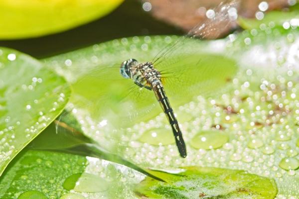 blue dasher female lay eggs v2_43G0390