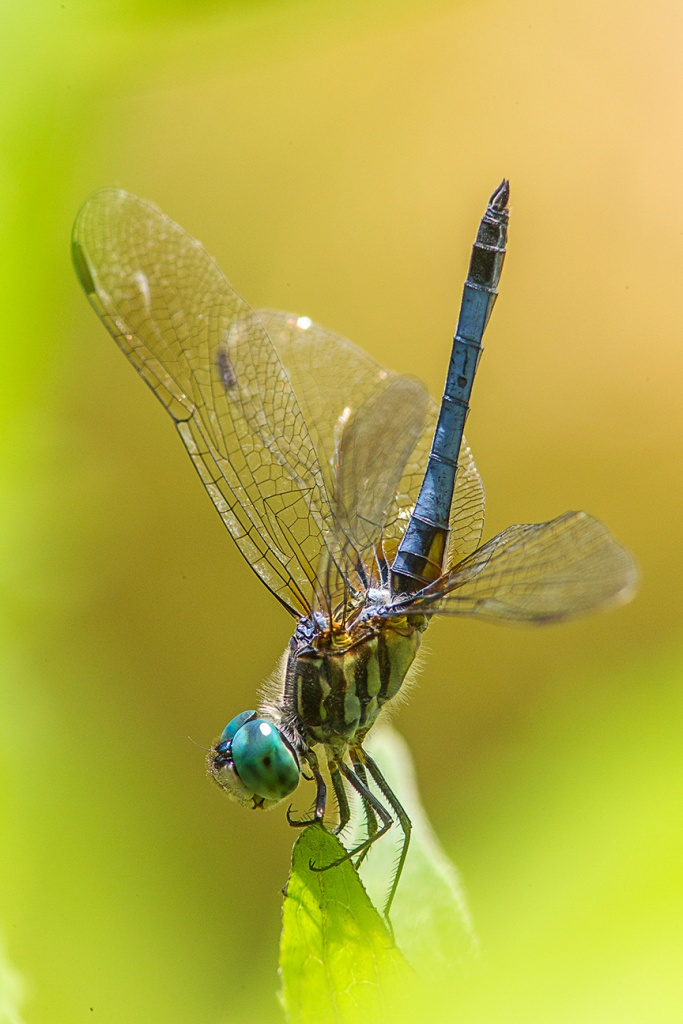 Blue Dasher v1_43G0990