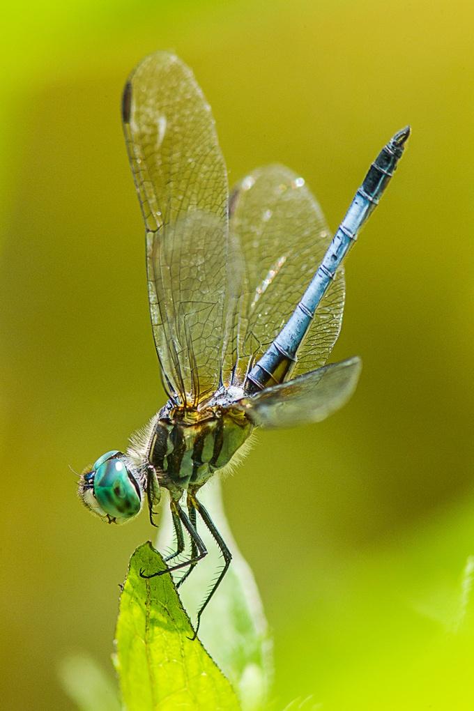 Blue Dasher v1_43G0999