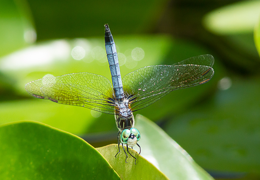 Blue Dasher v2_43G0981
