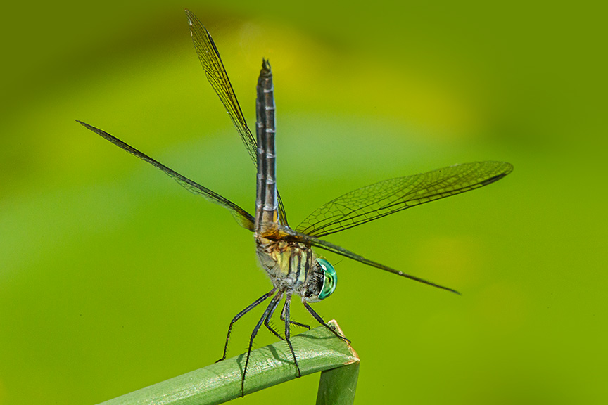 Blue Dasher v2_HP yard 2015 43G0979