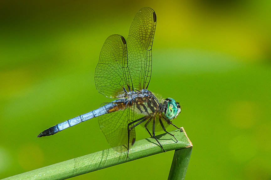 Blue Dasher v3 Pond 2015_43G0914