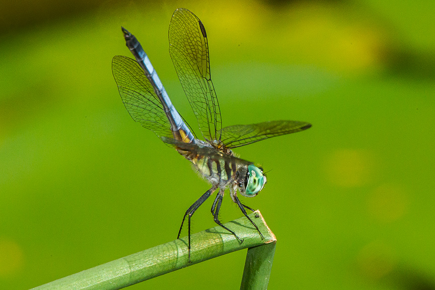 Blue dasher yard 2015 v2_43G1052