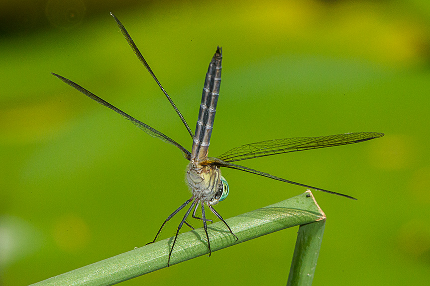 Blue dasher yard 2015 v2_43G1118