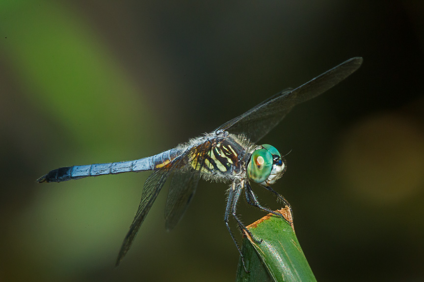 Blue dasher yard 2015 v2_43G1156