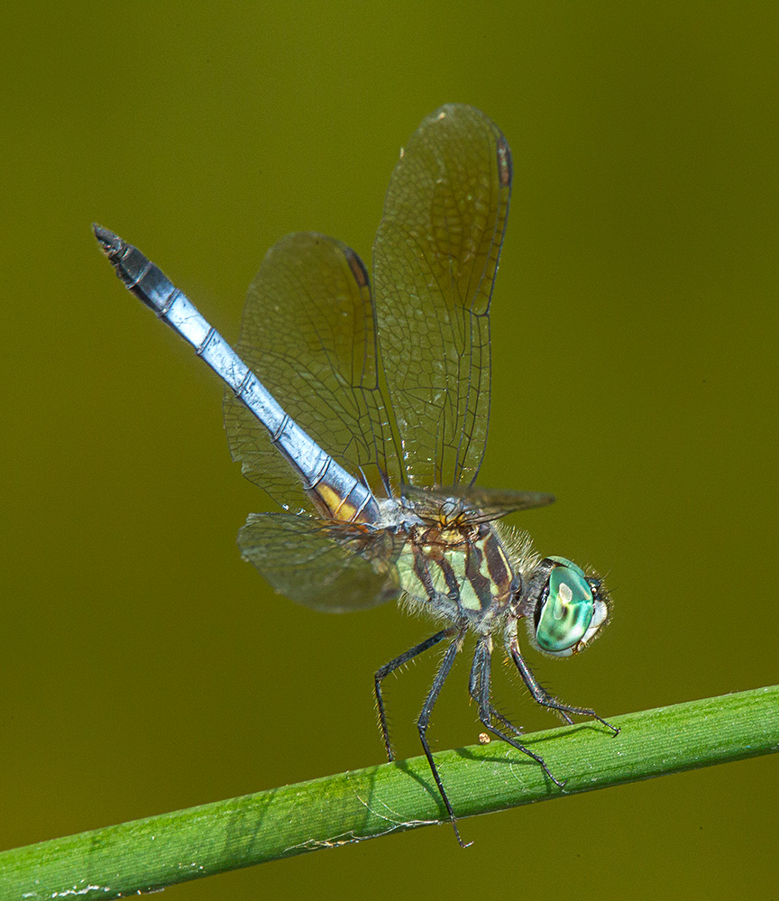 Blue dasher yard 2015 v3_43G1119
