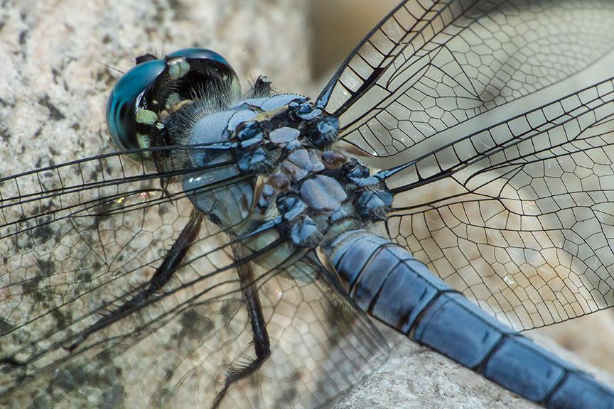 Blue Skimmer v1_43G7939