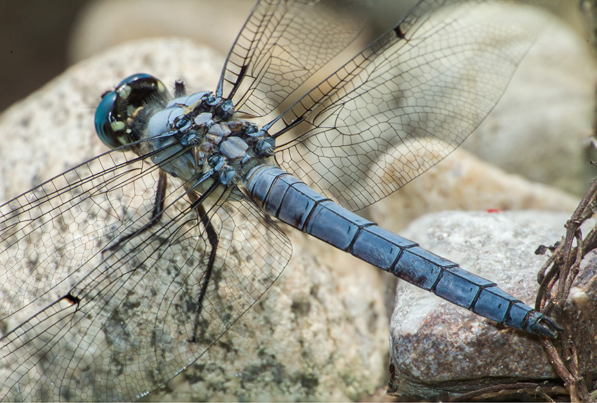 dragonfly pano set2_43G7964