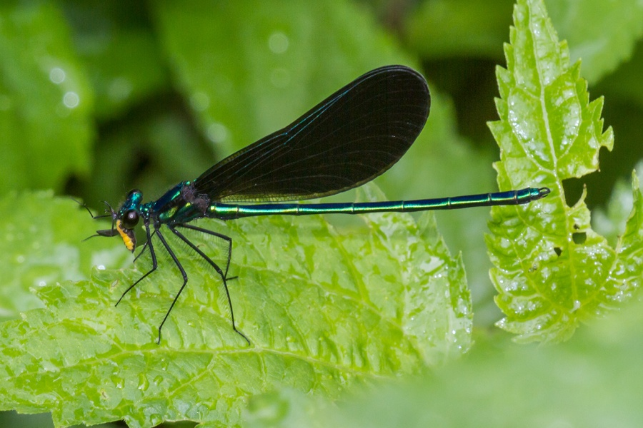 Ebony Jewelwing v2 yard_MG_7694