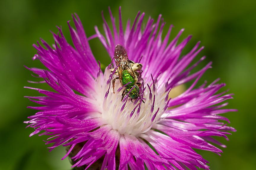 Metallic Green Bee McFaul v1_43G8514