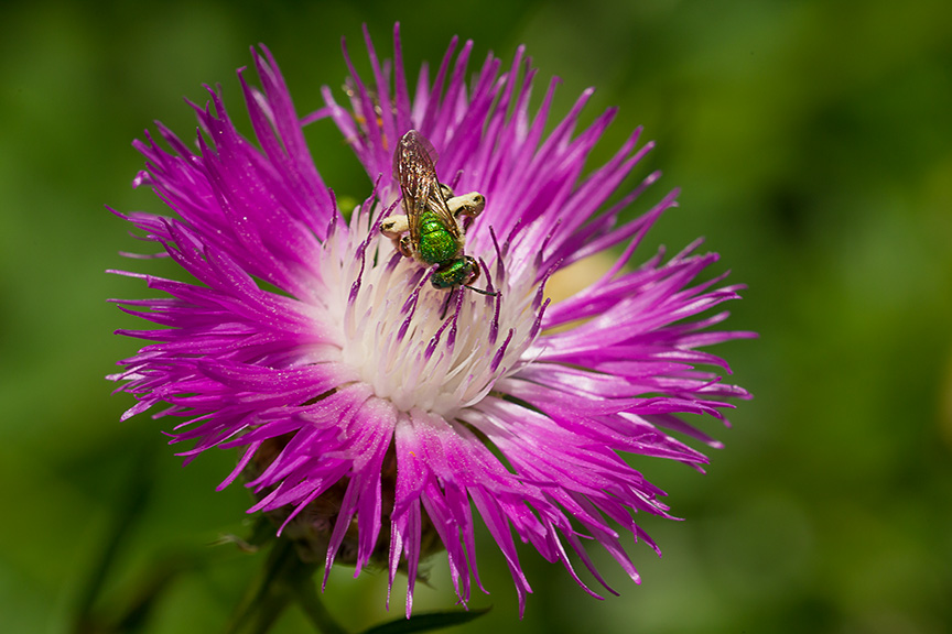 metallic green bee mcfaul v1_43G8521