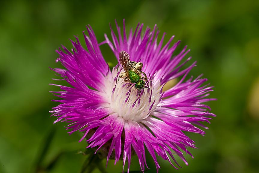 metallic green bee v1_43G8517