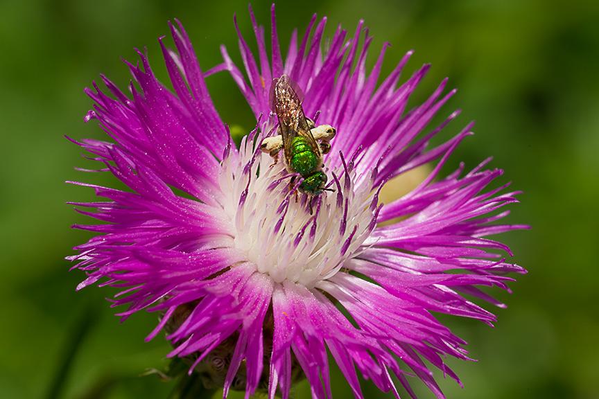 metallic green bee v2_43G8519