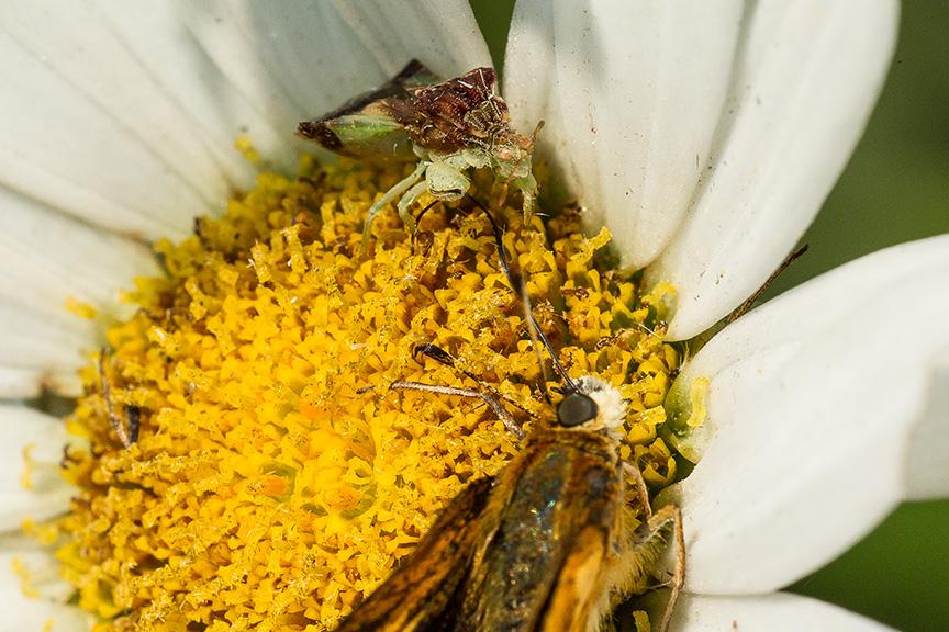 ambush bug jagged eat v2_43G5183