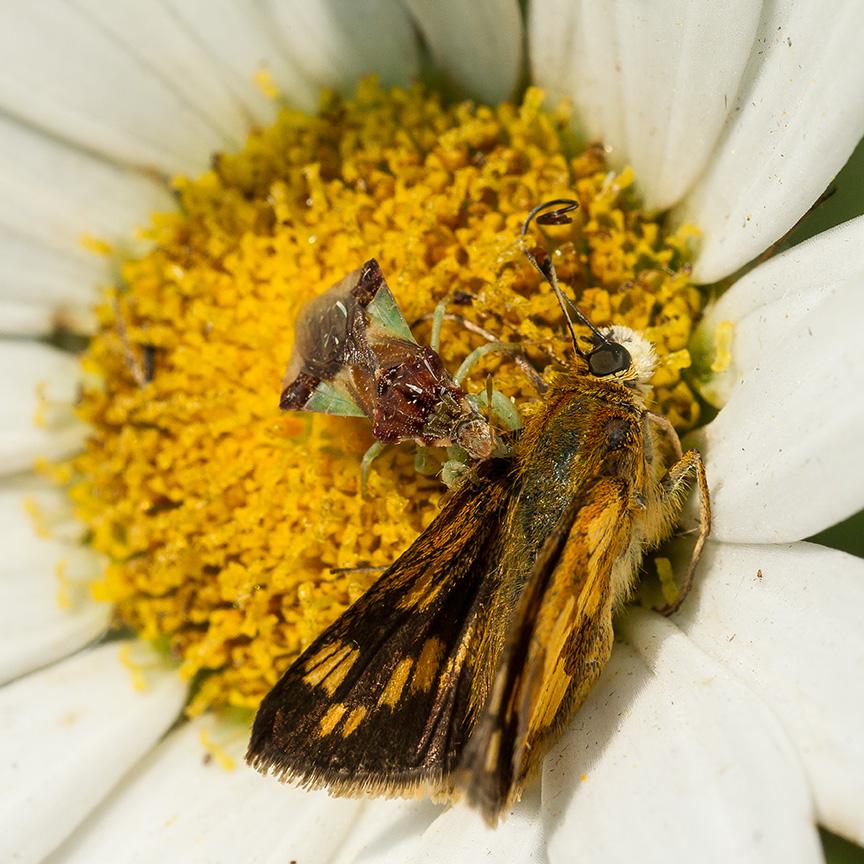 ambush bug jagged eat v2_43G5201
