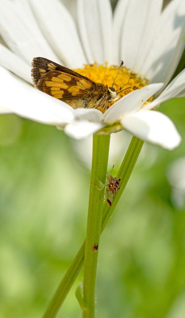 ambush bug jagged eat v2_43G5238