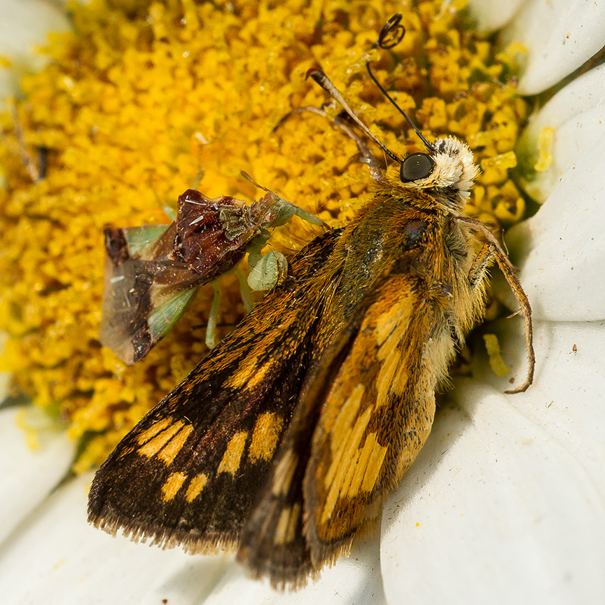 ambush bug jagged eat v3_43G5209