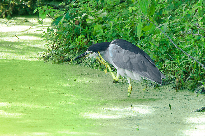 Black-crowned Night-heron v4_43G3958