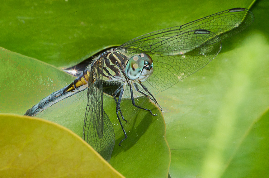 Blue Dasher female yard v3_43G2093