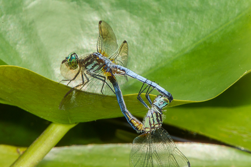 Blue Dasher mating yard v2_43G2087