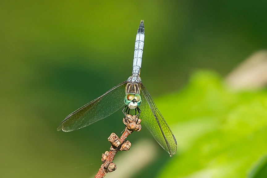 blue dasher v1 cf_43G2515
