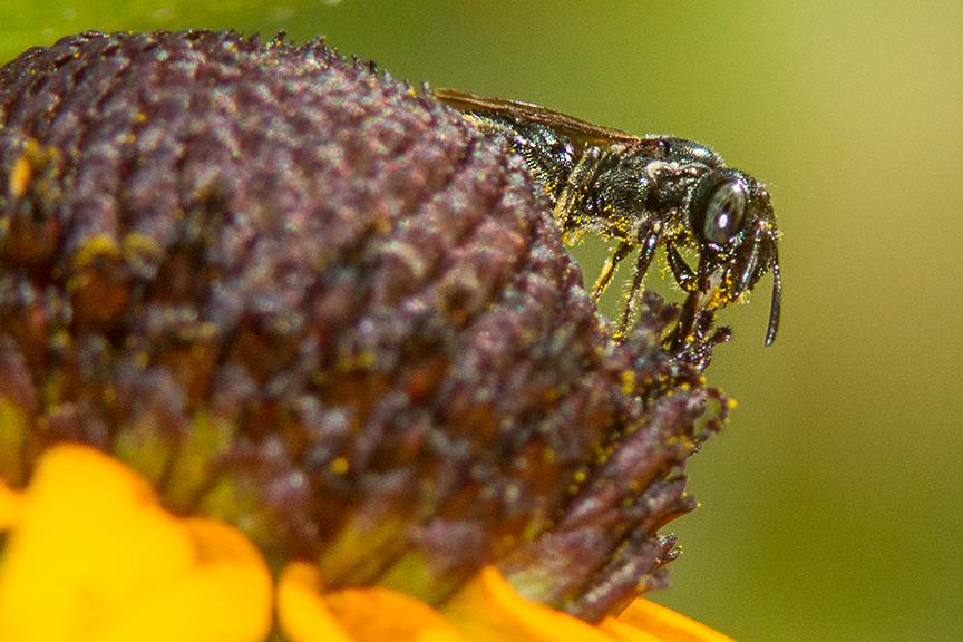 bug blk-eyed susan v4_43G3750