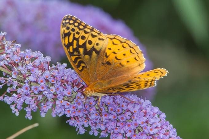 butterfly v1_43G3538