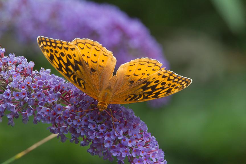 Butterfly yard v2_43G3535